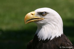 Bald_eagle_06tk